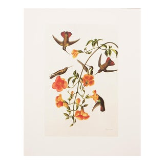 1960s Vintage Audubon Black-Headed Mango Reproduction Lithograph Print For Sale