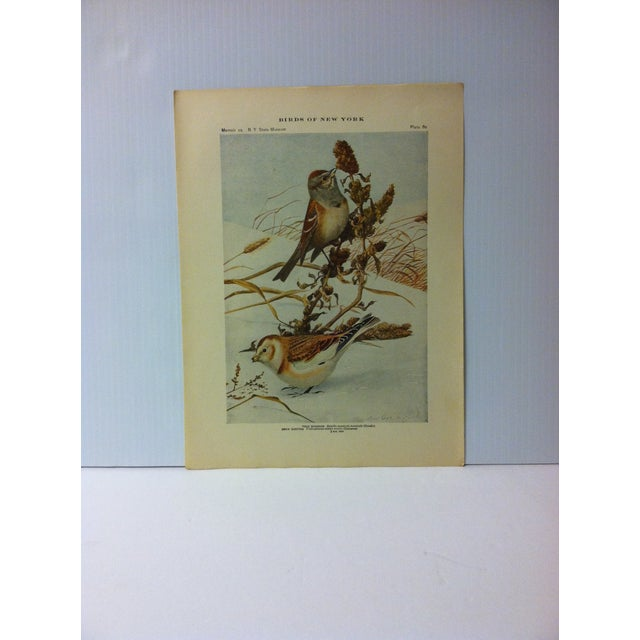 """1925 """"Tree Sparrow"""" the State Museum Birds of New York Print For Sale - Image 4 of 4"""