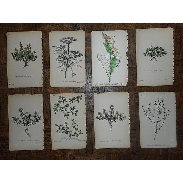 Antique Botanical Lithographs - Set of 8 For Sale In Cincinnati - Image 6 of 6