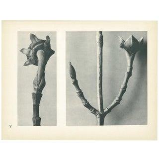 1928 Karl Blossfeldt Original Period Photogravure N20 of Cornus Nuttallii For Sale
