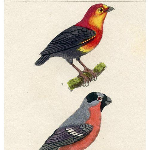 Richly hand-colored and detailed bird print of the Bunting and Bullfinch. From a 1830s edition of Georges Buffon's...