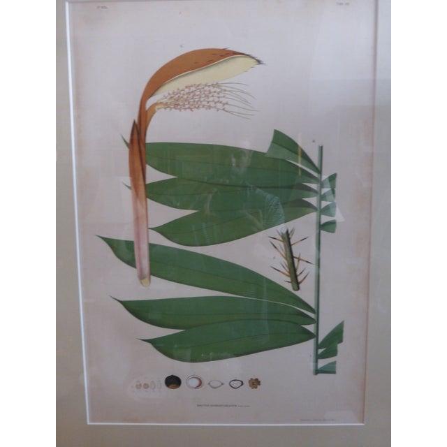 1903 Palm Engravings by Joao Barbosa Rodrigues - Image 5 of 8
