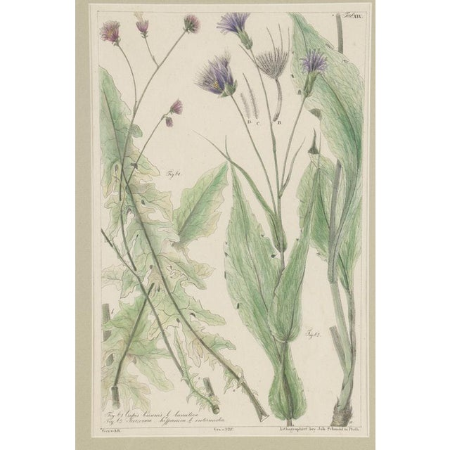Illustration 19th Century Hand-Colored Botanical Lithograph Pair For Sale - Image 3 of 10