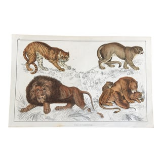 19th Century Oliver Goldsmith Big Cats Engraving of Tiger Puma African Lion