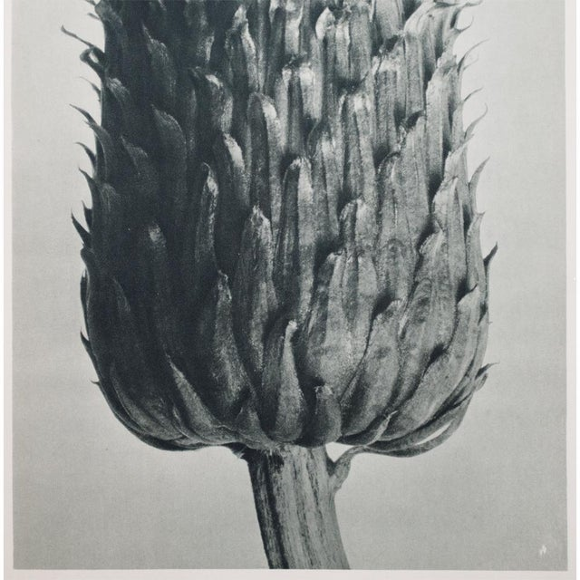 Blossfeldt Double Sided Photogravure - Image 4 of 11
