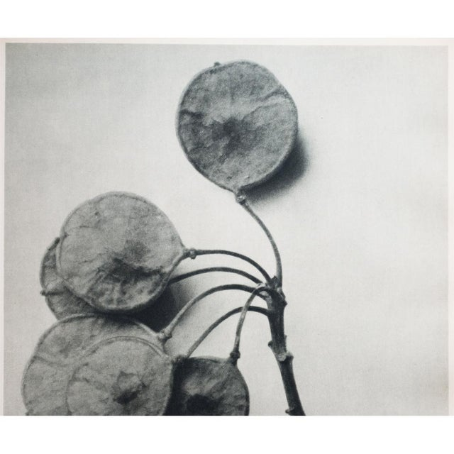 1935 Karl Blossfeldt Two-Sided Photogravure N46-45 For Sale In Dallas - Image 6 of 9
