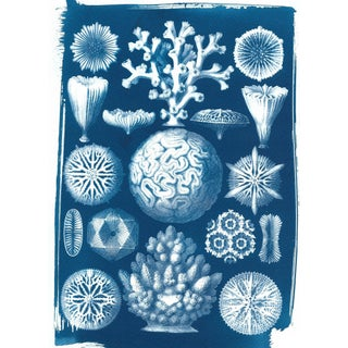 Geometric Coral Drawing by Ernst Haeckel, Cyanotype Print on Watercolor Paper. Limited Edition. Nautical Decor, Botanical Print, Beach Art For Sale