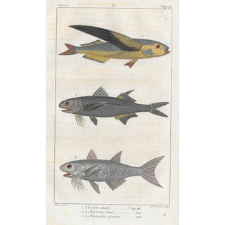 Flying Fish Print 19th Century For Sale