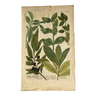 Mid 18th Century Antique Johann Wilhelm Weinmann Olive Branches Print For Sale