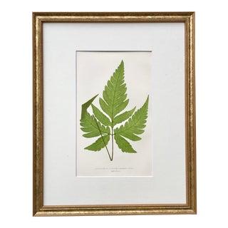 Antique Botanical Lithograph Fern Print by Edward J. Lowe 19th C. London 1867