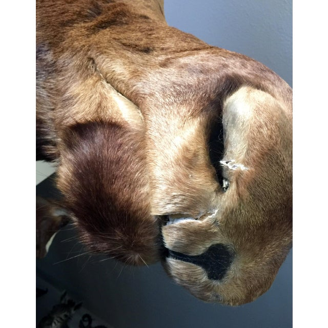 Alaskan Moose Taxidermy Shoulder Mount - Image 3 of 5
