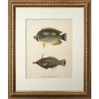 Antique Pair of Hawaiian Fish Chromolithographs 1905 Preview