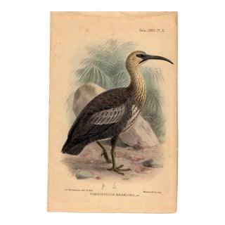"""Theristicus Branickii"", Limited Edition Bird Lithograph Originally Hand-Colored and Pencil Signed by J. G. Keulemans Del. Et Lith. 1900 For Sale"