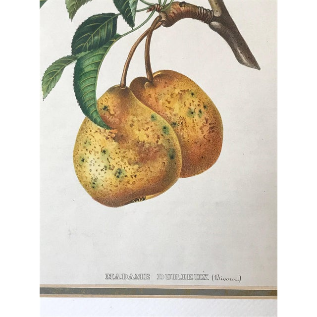 Antique 19th Century French Lithograph of Pear For Sale - Image 4 of 5