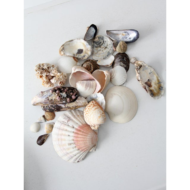 Vintage Sea Shell Collection - Set of 25 - Image 4 of 6