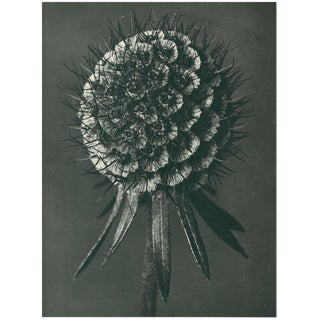 1928 Original Karl Blossfeldt Photogravure N91 of Phacelia Tanacetifolia For Sale