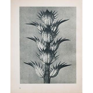 Karl Blossfeldt Photogravure N77-78, 1935