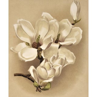 C1880s French Botanical Chromolithograph -Magnolia, Matted For Sale