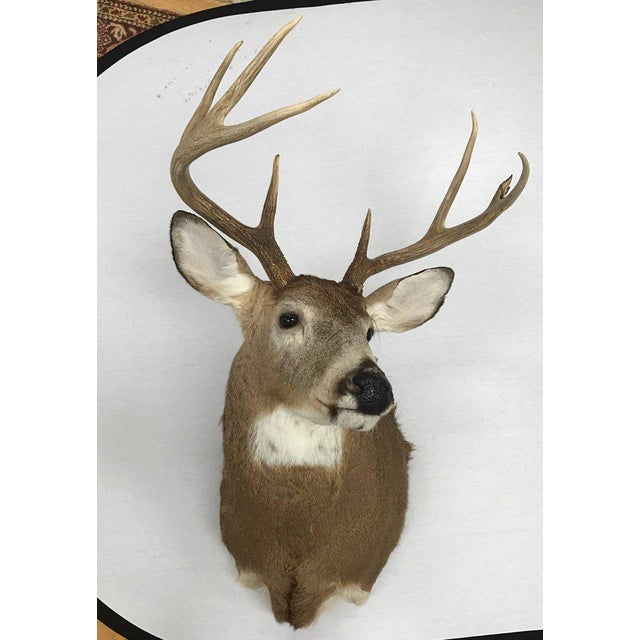 Eight-Point Deer Head Taxidermy Mount For Sale - Image 4 of 4