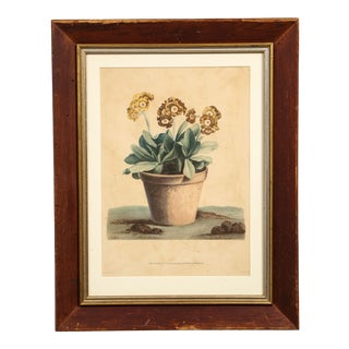 Potted Auricula Engraving by Jean-Louis Prévost in Pine Frame For Sale