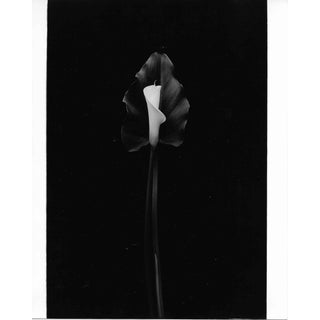 Calla Lily Black and White Photograph by Garo 1980s For Sale