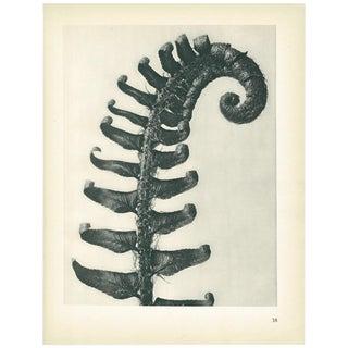 1928 Karl Blossfeldt Original Period Photogravure N38 For Sale