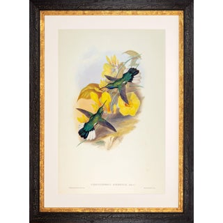 1990s John Gould Blue-Throated Sabre-Wing or Campylopterus Ensipennis (Plate 46) Framed Print For Sale