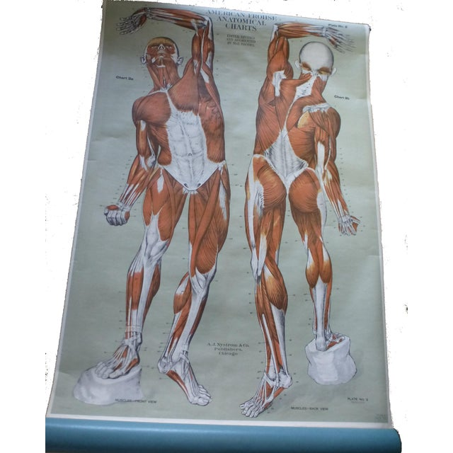 Wood Vintage American Frohse Muscular System Anatomy Chart For Sale - Image 7 of 7