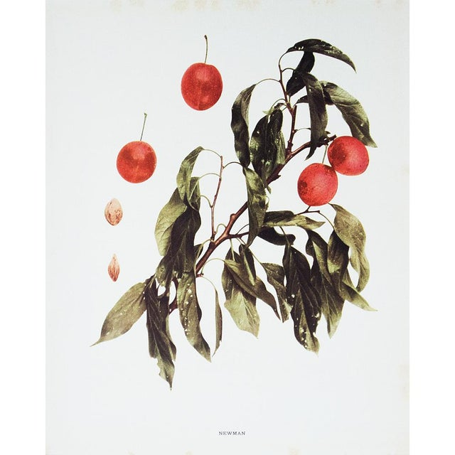 American Classical 1900s Original Fruits of New York Photogravures by U. P. Hedrick - Set of 4 For Sale - Image 3 of 7