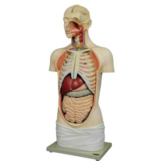1920s Vintage Male Anatomical Bust by Louis M. Meusel For Sale