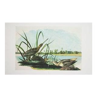 Audubon Print of Common Snipe, 1966