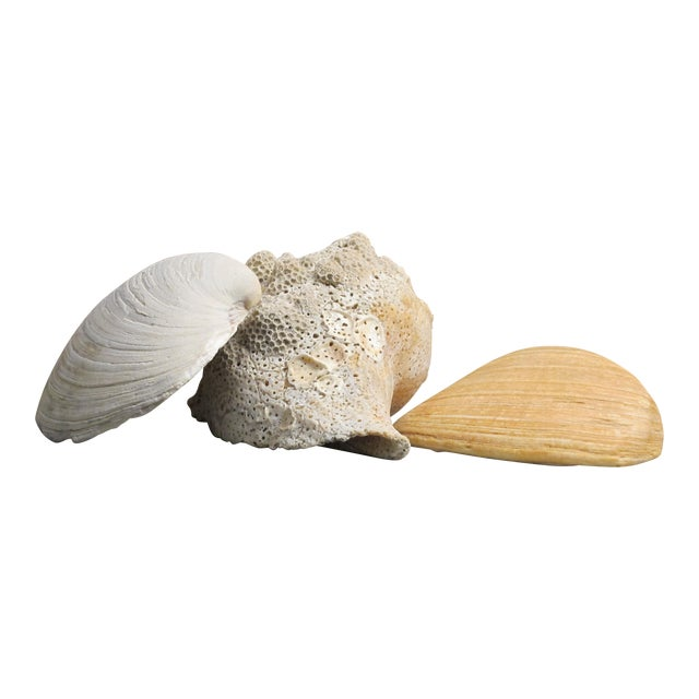 Large Natural Conch and Clam Seashells - Set of 3 - Image 1 of 10