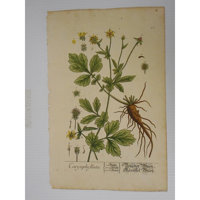 Antique 18th C. E. Blackwell Botanical Engraving - Image 2 of 4