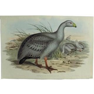 1840s Cape Barren Goose John Gould Print For Sale