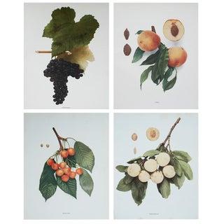 Large Antique Fruits Photogravures - Set of 4
