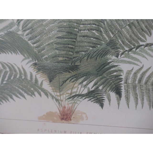 Lithograph Vincent Brooks Day & Sons Decorative Lithograph Fern Prints - a Pair For Sale - Image 7 of 13