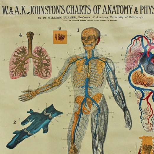 Antique Anatomical Chart- Veins & Lungs - Image 2 of 2