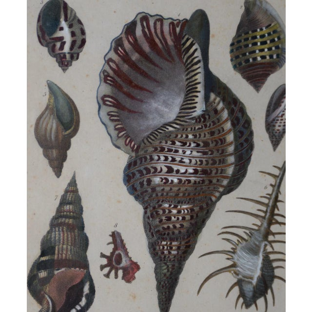 "Illustration Pair of Early 19th Century ""Conchology"" Color Etchings C.1802 For Sale - Image 3 of 7"