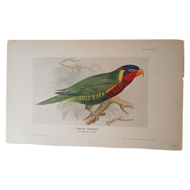 Antique 19th Century Parakeet Lithograph - Image 1 of 3
