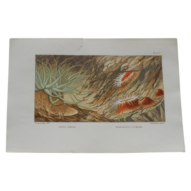Antique Sea Creature Lithograph - Image 1 of 3