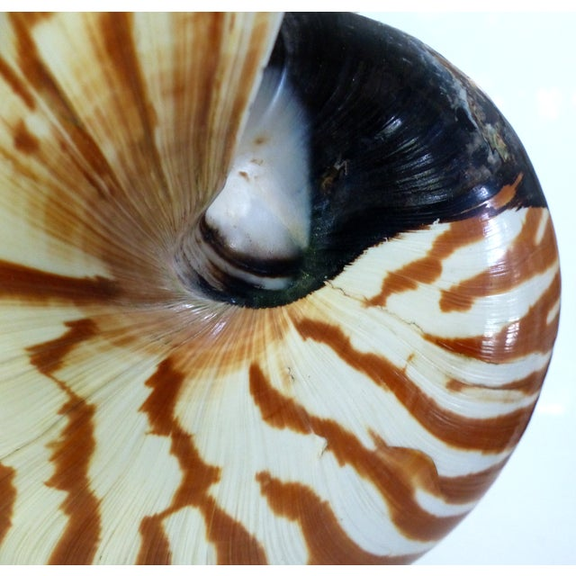 Nautilus Shell Mounted on a Brass Stand - Image 10 of 10