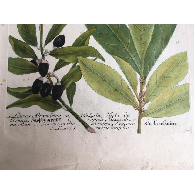 Mid 18th Century Antique Johann Wilhelm Weinmann Olive Branches Print For Sale - Image 9 of 11