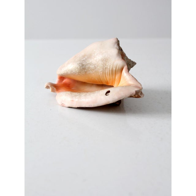 Mid 20th Century Vintage Natural Conch Shell For Sale - Image 5 of 7