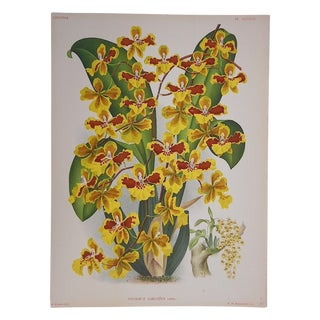 Large Antique Orchid Lithograph