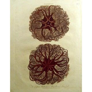 1796 Engraving Caput Medusa Starfish