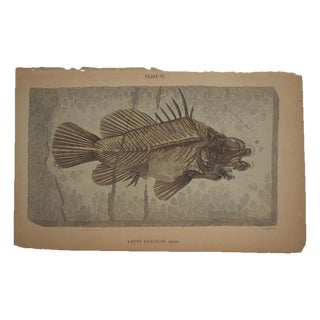 Antique English Fish Fossil Engraving For Sale