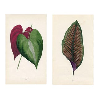 19th Century Yam and Royal Arrow-Root Leaf Prints - a Pair For Sale