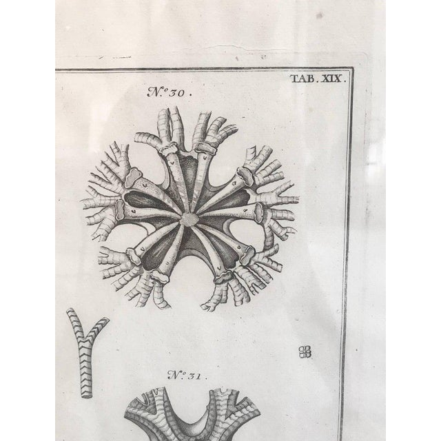 18th Century Rare French Engraving of Sea Star For Sale - Image 4 of 8