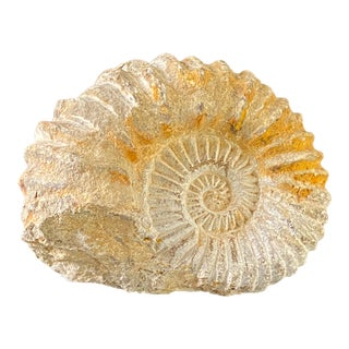 Natural Polishing Conch Ammonite Fossil Specimens of Morocco For Sale