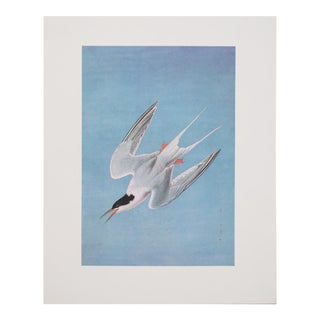 Large Lithograph of Roseate Tern by Audubon, 1966